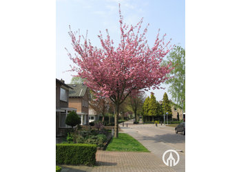 Boomkwekerij M. van den Oever Prunus serrulata 'Kanzan'
