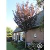 Boomkwekerij M. van den Oever Prunus serrulata 'Royal Burgundy' | Japanse sierkers