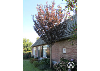 Boomkwekerij M. van den Oever Prunus serrulata 'Royal Burgundy'