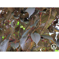 Prunus serrulata 'Royal Burgundy' | Japanse sierkers