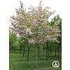 Boomkwekerij M. van den Oever Prunus serrulata 'Shirofugen'  | Japanse sierkers