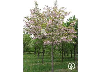 Boomkwekerij M. van den Oever Prunus serrulata 'Shirofugen'