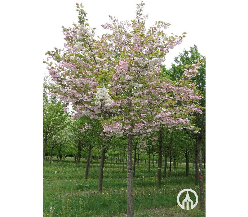 Prunus serrulata 'Shirofugen'  | Japanse sierkers