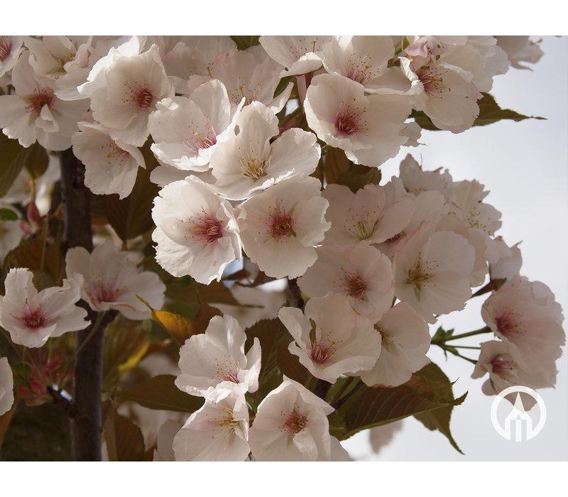 Prunus serrulata 'Sunset Boulevard' | Japanse sierkers
