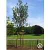 Boomkwekerij M. van den Oever Prunus serrulata 'Sunset Boulevard' | Japanse sierkers