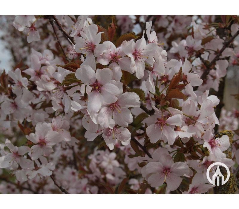 Prunus ´Spire´ | Sierkers