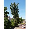 Boomkwekerij M. van den Oever Prunus ´Spire´ | Sierkers