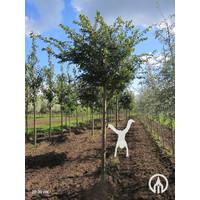 Prunus subhirtella 'Autumnalis Rosea' | Sierkers