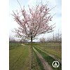 Boomkwekerij M. van den Oever Prunus subhirtella 'Autumnalis Rosea' | Sierkers