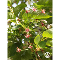 Prunus 'Umineko' | Sierkers