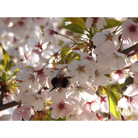 Prunus x yedoensis  | Yoshinokers