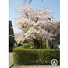 Boomkwekerij M. van den Oever Prunus x yedoensis  | Yoshinokers