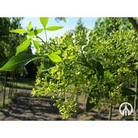 Ptelea trifoliata | Lederboom