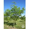 Boomkwekerij M. van den Oever Ptelea trifoliata | Lederboom