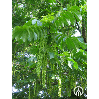 Pterocarya fraxinifolia | Gewone vleugelnoot