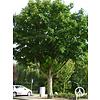 Boomkwekerij M. van den Oever Pterocarya fraxinifolia | Gewone vleugelnoot