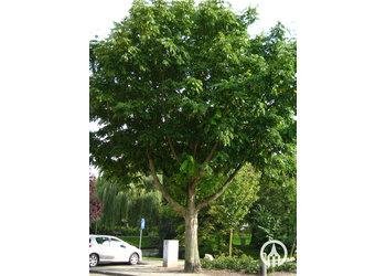 Boomkwekerij M. van den Oever Pterocarya fraxinifolia