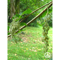 Pterostyrax hispida | Epaulettenboom