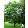 Boomkwekerij M. van den Oever Pterostyrax hispida | Epaulettenboom