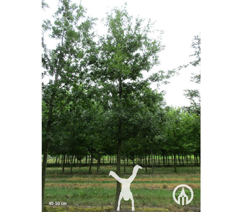 Quercus cerris | Moseik