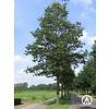 Boomkwekerij M. van den Oever Quercus cerris | Moseik