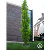Boomkwekerij M. van den Oever Quercus palustris 'Green Pillar' | Moeraseik