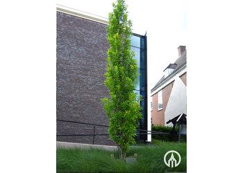 Boomkwekerij M. van den Oever Quercus palustris 'Green Pillar'