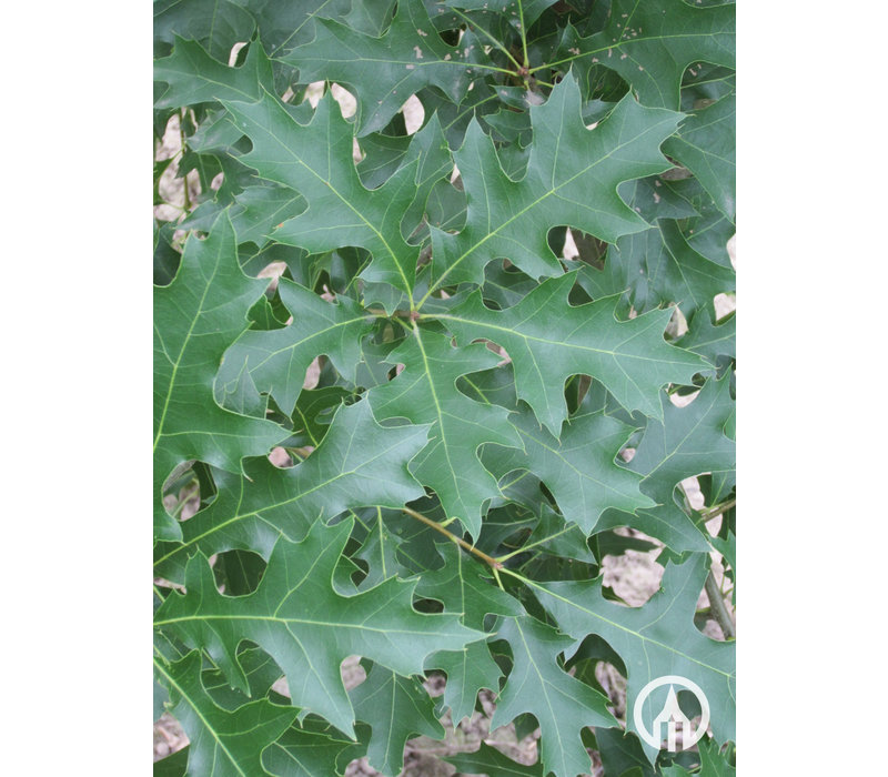 Quercus palustris | Moeraseik