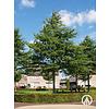 Boomkwekerij M. van den Oever Quercus palustris | Moeraseik