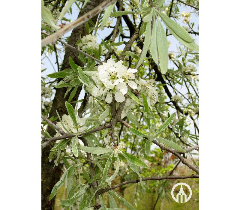 Pyrus salicifolia 'Pendula' | Wilgpeer