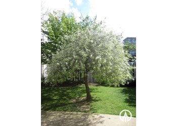Boomkwekerij M. van den Oever Pyrus salicifolia 'Pendula'