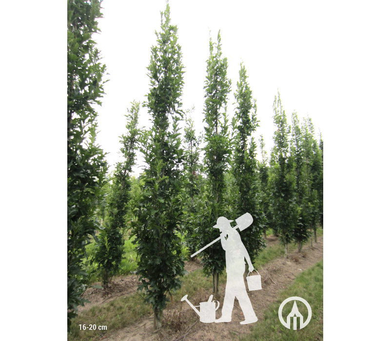 Quercus palustris 'Green Pillar' | Moeraseik