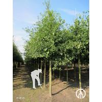 Quercus robur | Zomereik