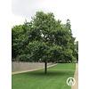Boomkwekerij M. van den Oever Quercus robur | Zomereik