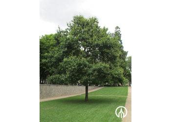 Boomkwekerij M. van den Oever Quercus robur