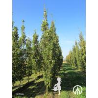 Quercus robur 'Fastigiate Koster' | Piramidale eik