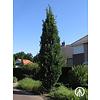 Boomkwekerij M. van den Oever Quercus robur 'Fastigiate Koster' | Piramidale eik