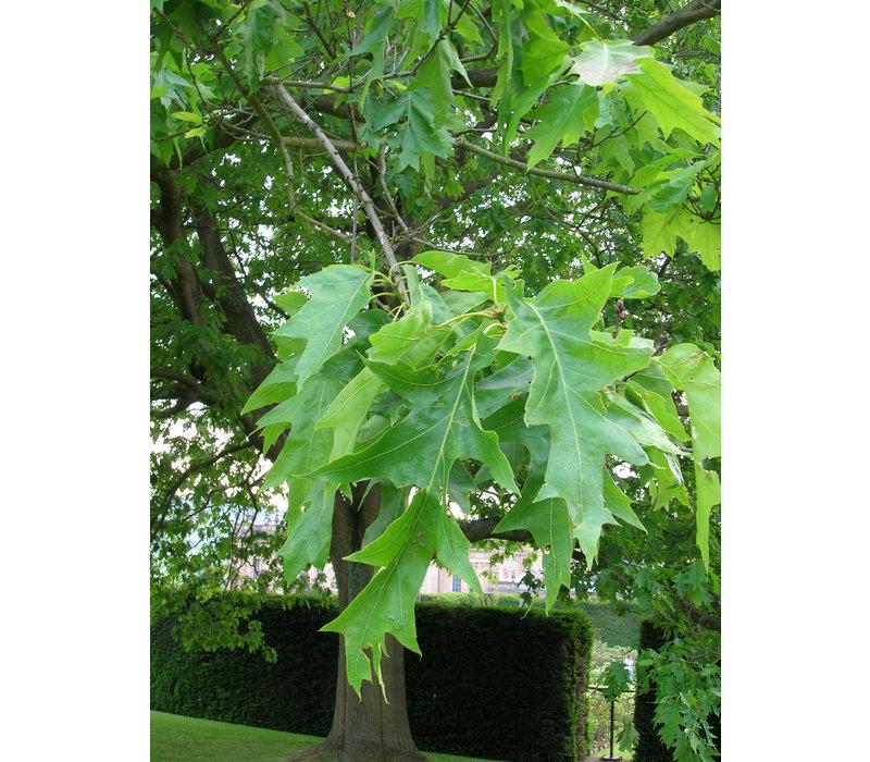 Quercus rubra | Amerikaanse eik