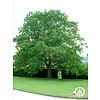 Boomkwekerij M. van den Oever Quercus rubra | Amerikaanse eik