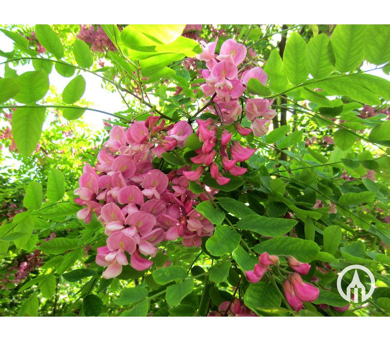 Robinia x margaretta 'Casque Rouge' | Valse Acacia