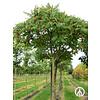 Boomkwekerij M. van den Oever Rhus typhina | Fluweelboom | Azijnboom