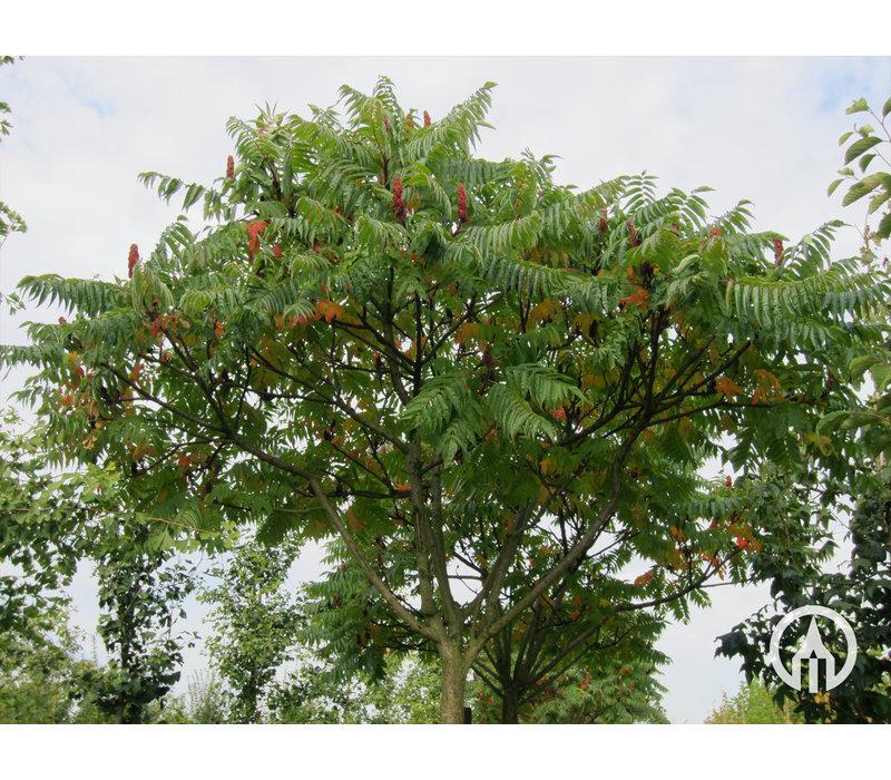 Rhus typhina | Fluweelboom | Azijnboom
