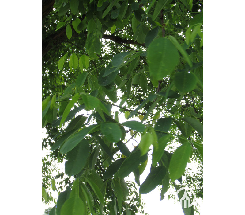 Robinia pseudoacacia 'Bessoniana' | Valse Acacia