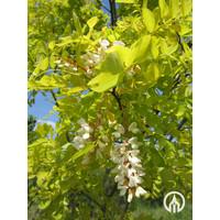 Robinia pseudoacacia 'Frisia' | Gele Acacia