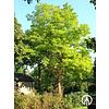 Boomkwekerij M. van den Oever Robinia pseudoacacia 'Frisia' | Gele Acacia