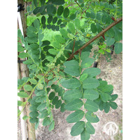 Robinia pseudoacacia 'Nyirsegi'