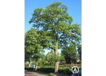 Boomkwekerij M. van den Oever Robinia pseudoacacia 'Nyirsegi'