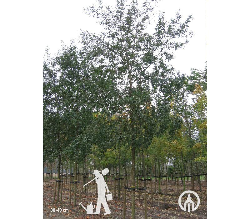 Robinia pseudoacacia 'Unifoliola' | Valse Acacia