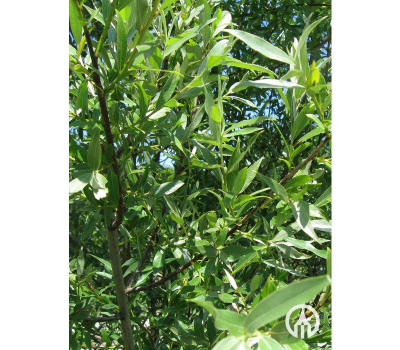 Salix alba 'Belders' | Schietwilg | Knotwilg