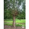 Boomkwekerij M. van den Oever Salix alba 'Belders' | Schietwilg | Knotwilg